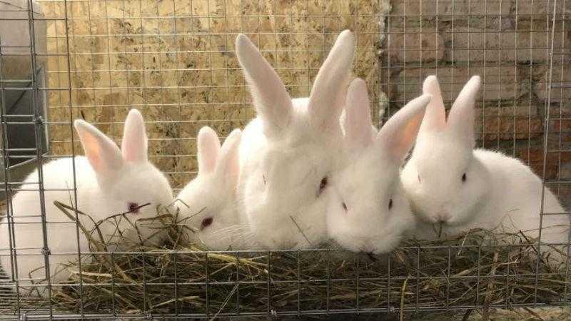 Выращивание и кормление бройлерных кроликов