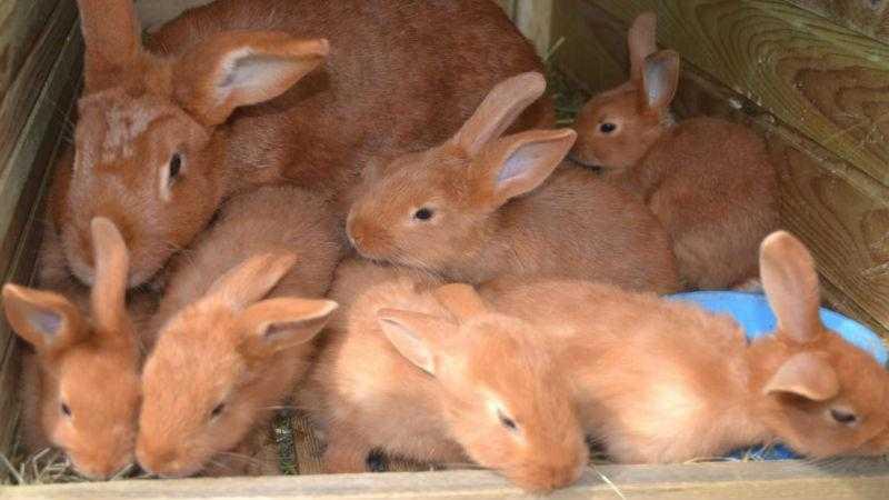 Кормление и выращивание молодняка кроликов на мясо