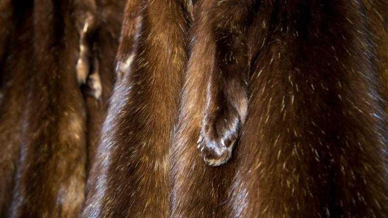 Шкурки норки - качество меха и его ценность