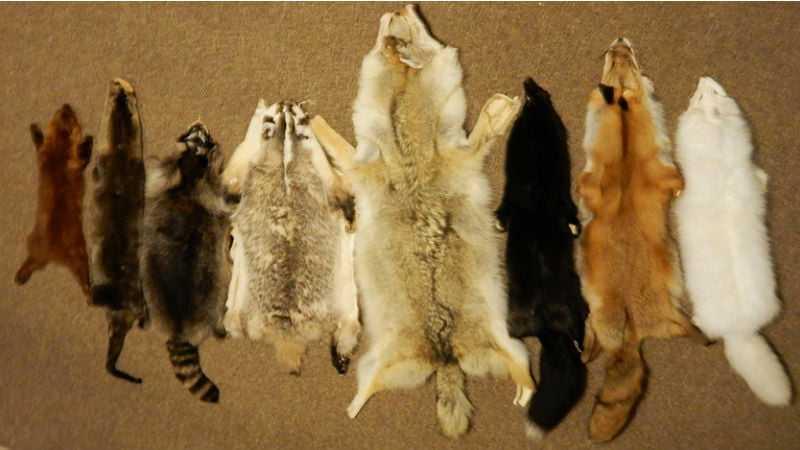 Снятие шкурки с пушных зверей и других животных, имеющих мех