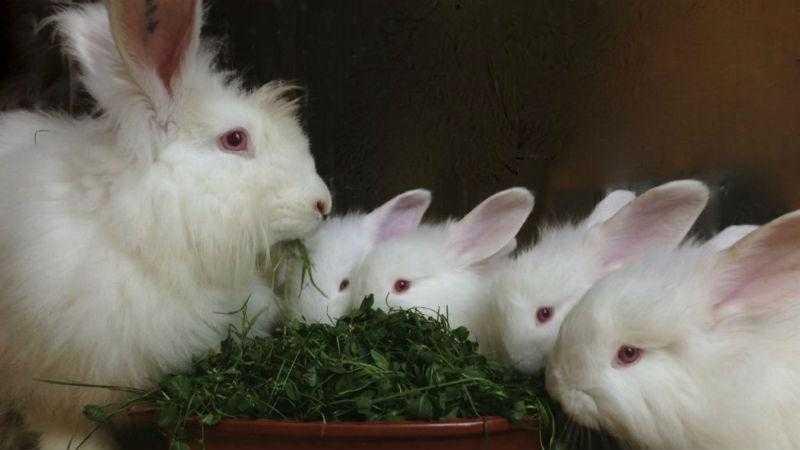 Пух кроликов - сбор и переработка
