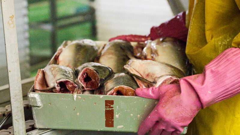Рыбные корма для пушных зверей