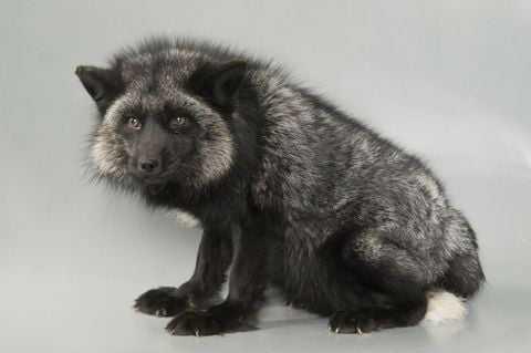 Лисица серебристо-черная
