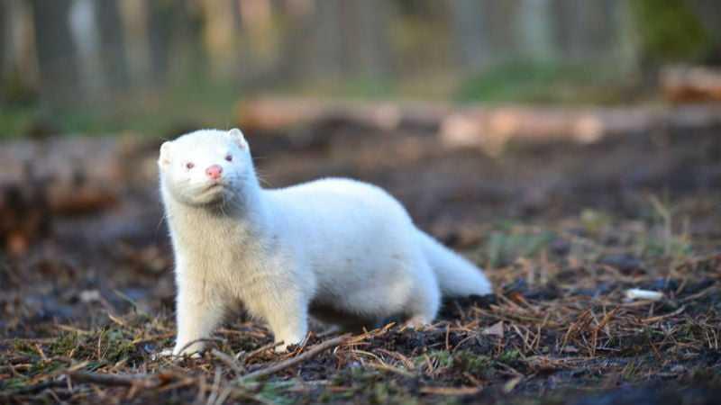 Белые норки - окрас и разновидность