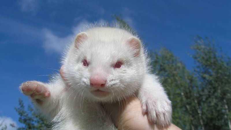 Норка альбинос