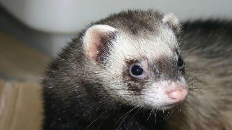 Отравление фтором животных (симптомы и лечение)
