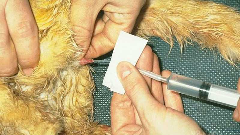 Задержка мочи у пушных зверей - причины и симптомы заболевания, лечение и методы профилактики